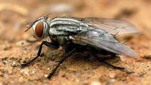Très gros plan d'une mouche.