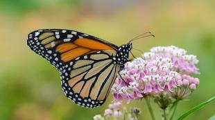 Un papillon monarque butine le nectar de fleurs d'asclépiades.