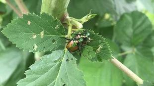 Un scarabée japonais à la carapace cuivrée sur une feuille