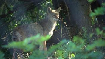 Pas farouches, les coyotes de Montréal