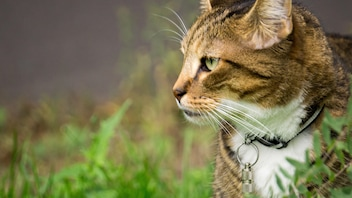 Les animaux de compagnie souffrent eux aussi de la fumée des feux de forêt