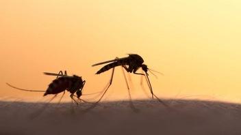 Éliminer les moustiques avec des flatulences