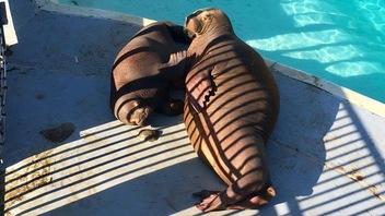 Deux bébés morses en forme à l'Aquarium du Québec