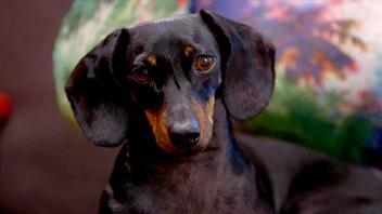 Leteckel est un chien unique etune race bien riche