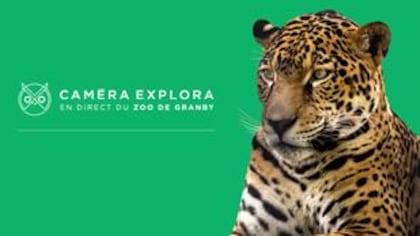 Faites la rencontre de jaguars du Zoo de Granby!