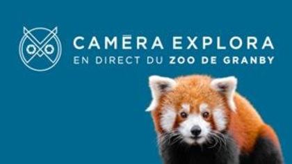Suivez le quotidien d'un petit panda en direct du Zoo de Granby!