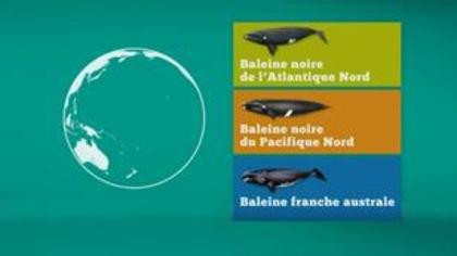Comment distinguer les trois types de baleines franches?