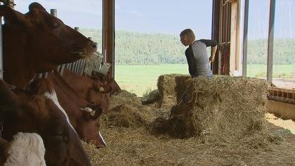 Une jeune femme agricultrice donne du foin à des vaches.