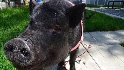 Les cochons nains comme animaux de compagnie préoccupent un refuge