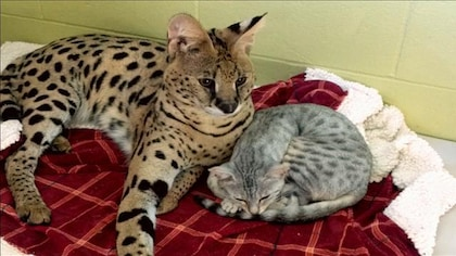 Deux chats sont couchés sur une couverture