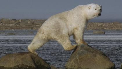 Une ourse polaire traverse une baie en grimpant sur des rochers.