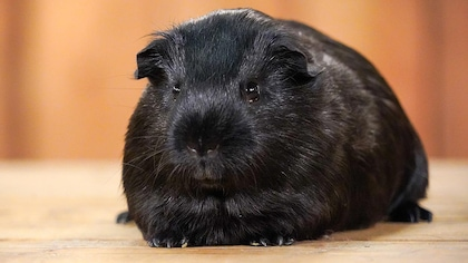 Un cochon d'Inde noir.