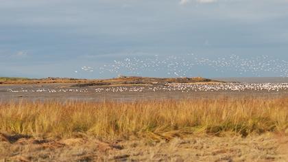 Un champ, un cours d'eau et des oies qui s'envolent.