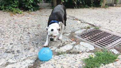 Henri, un Boston terrier.