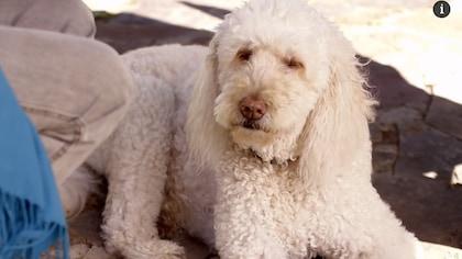 Marie Tifo et son chien blanc Goldendoodle , prénommé Bulle.