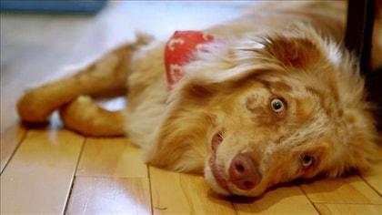 Pingo, un berger australien couleur caramel est couché sur le sol.