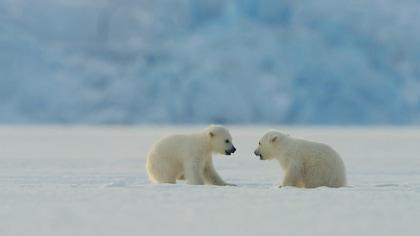 La grande aventure de plus de 800 km d'une famille d'ours polaire