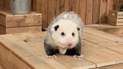 Geneviève Brouillette et l'opossum de Virginie