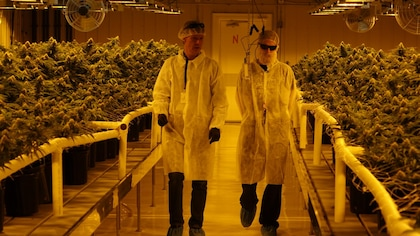 Production de cannabis : l'avenir vert de l'Alberta