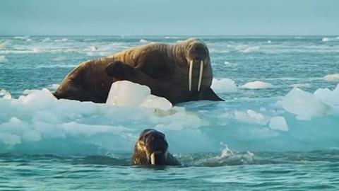 Des morses dans la mer, qui contient des blocs de glace.
