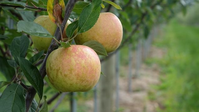Des pommes Évangéline