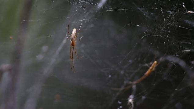 Une araignée sur une toile.