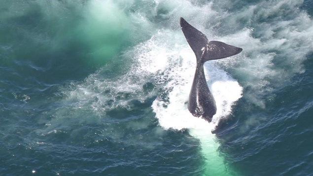 Une baleine effectuant une plongée