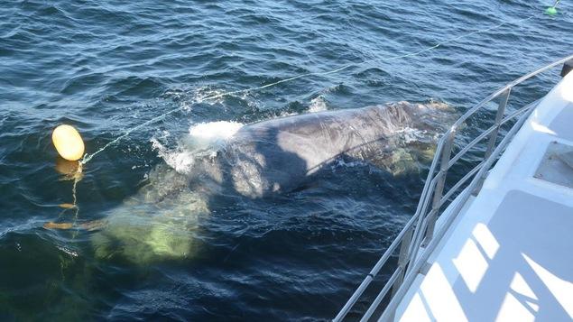 La baleine entourée d'un cordage à côté d'un bateau