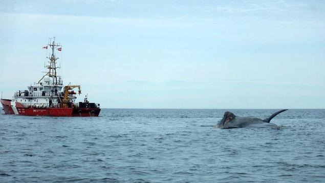 Canada : vitesse réduite dans le Saint-Laurent pour sauver les baleines