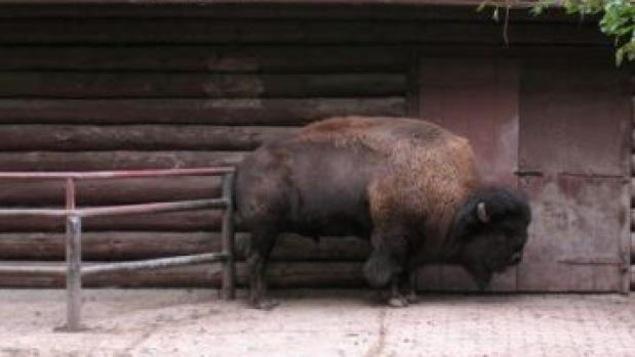 Le bison est dans son enclos au zoo High Park.
