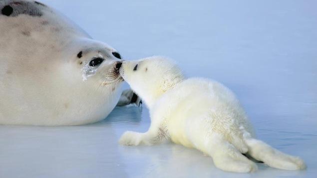 Un blanchon embrasse sa mère sur la banquise.