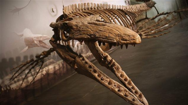 Un squelette de mosasaure exposé au Canadian Fossil Discovery Centre à Morden, au Manitoba