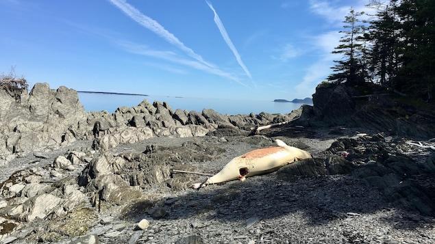 La carcasse du béluga échoué à Saint-Fabien-sur-mer