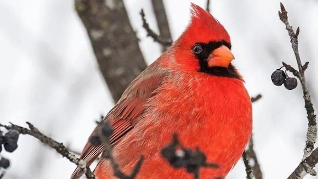 Un oiseau rouge et noir sur une branche.