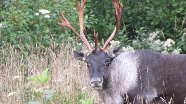 L'animal vu de près alors qu'il erre dans les bois