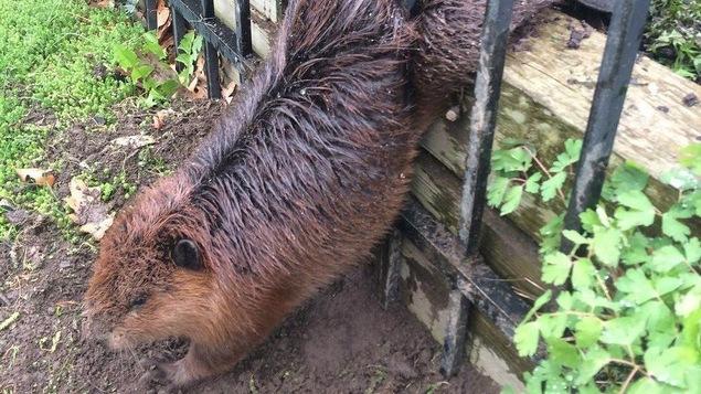 Le castor alors qu'il était prisonnier des barreaux d'une clôture.