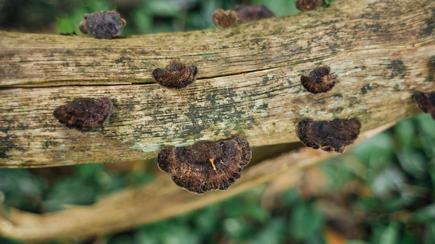 Le champignon de chaga