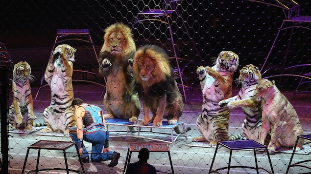 L'entraîneur des lions et des tigres Alexander Lacey s'incline devant les animaux lors de son dernier spectacle. Le cirque ferme ses portes.