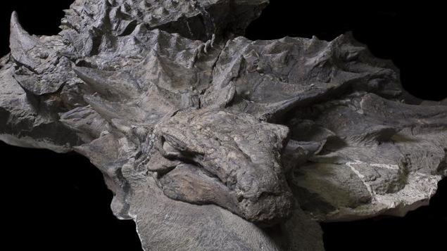 Un fossile de nodosaure