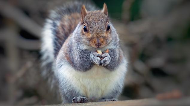 Un écureuil gris