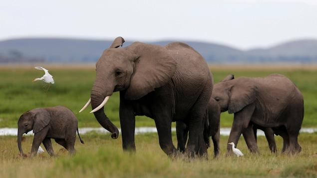 Quatre éléphants marchent dans un parc national du Kenya, aux côtés de deux petits oiseaux blancs.