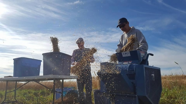 Des semences sont collectées par deux hommes à la ferme expérimentale d'Agriculture Canada à Saskatoon.