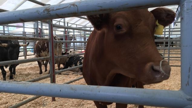 Le Festival western de Saint-Tite a invité les médias à visiter les enclos des animaux avec l'intention de briser des mythes.