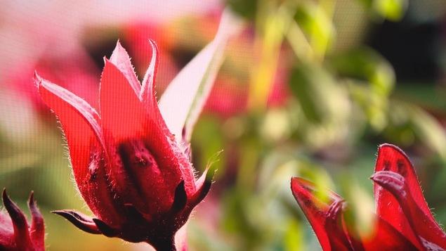 Des fleurs d'hibiscus pour cuisiner.