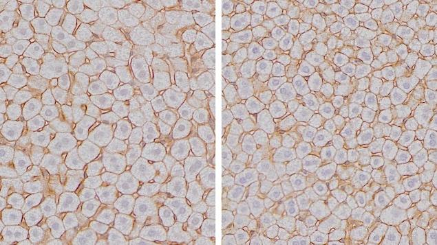 Chez la souris, la taille des cellules hépatocytes atteint son maximum à la fin de la nuit (droite) et son minimum à la fin de la journée (gauche).