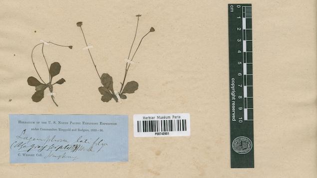 Un spécimen de marguerite, du genre Lagenophora, récolté à Java au milieu du 19e siècle. Cette photo est tout ce qu'il reste du spécimen après sa destruction par des douaniers australiens.