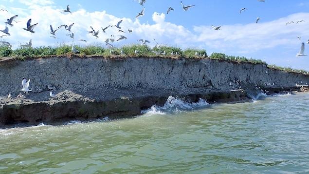 L'île Deslauriers, située à l'est de Varennes en Montérégie, a perdu le tiers de sa superficie depuis 10 ans. Sur la photo, les vagues frappent une falaise en terre de 2 mètres de haut autour de laquelle volent de nombreux oiseaux.