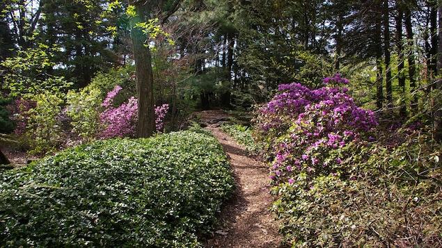 Une allée centrale serpente à travers une forêt de conifère et des buissons en fleurs.