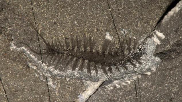 Un fossile bien préservé du Kootenayscolex