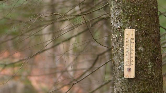 Un thermomètre posé sur le tronc d'un arbre résineux dont les branches sont sèches.